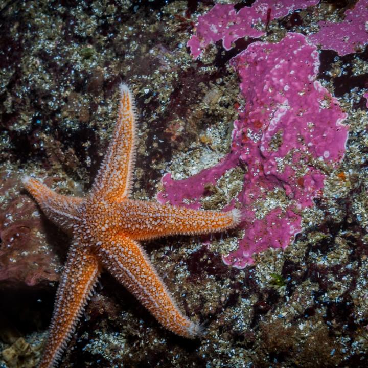 sea-star-north-atlantic-marine-life-720x720.jpg
