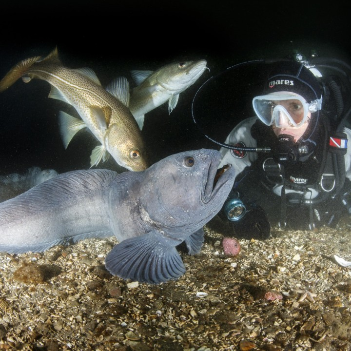 diver-looking-at-wolffish-and-cod-in-strytan-720x720.jpg