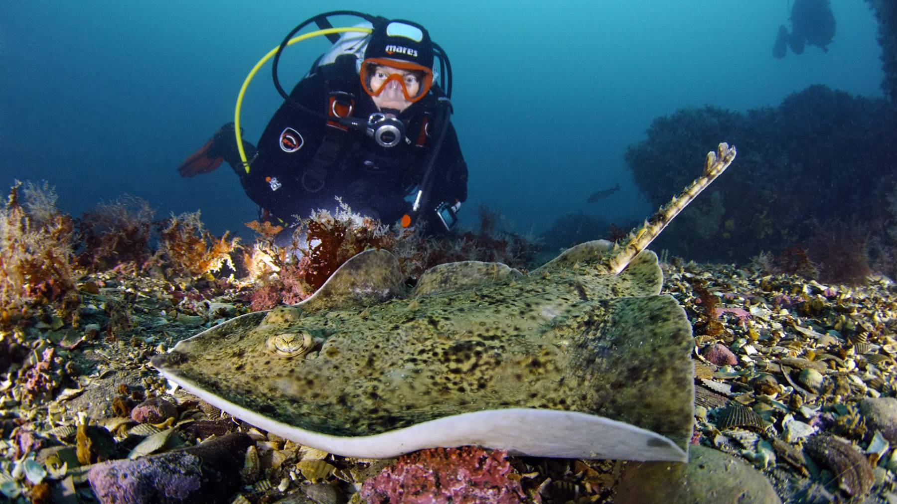 A Diver next to a Starry Ray found in Strýtan, Iceland
