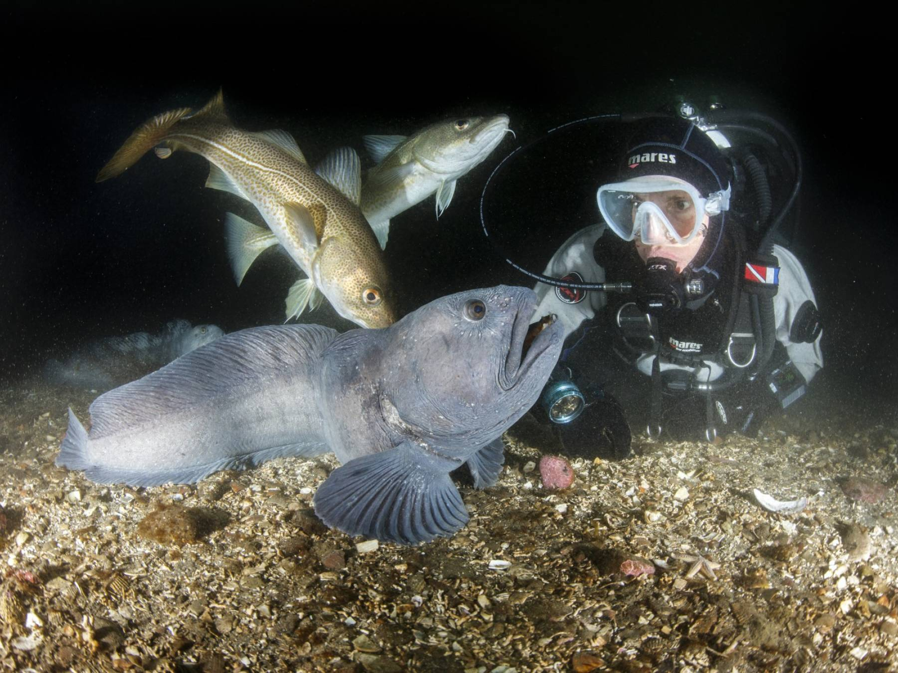 Diver with a wolffish and a cod in Strýtan